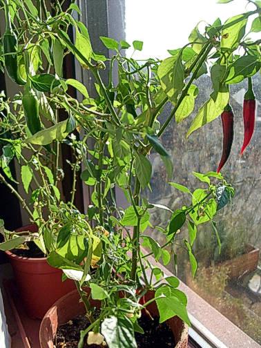 chili-mutterpflanze